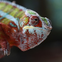 Turret Eyes Chameleons
